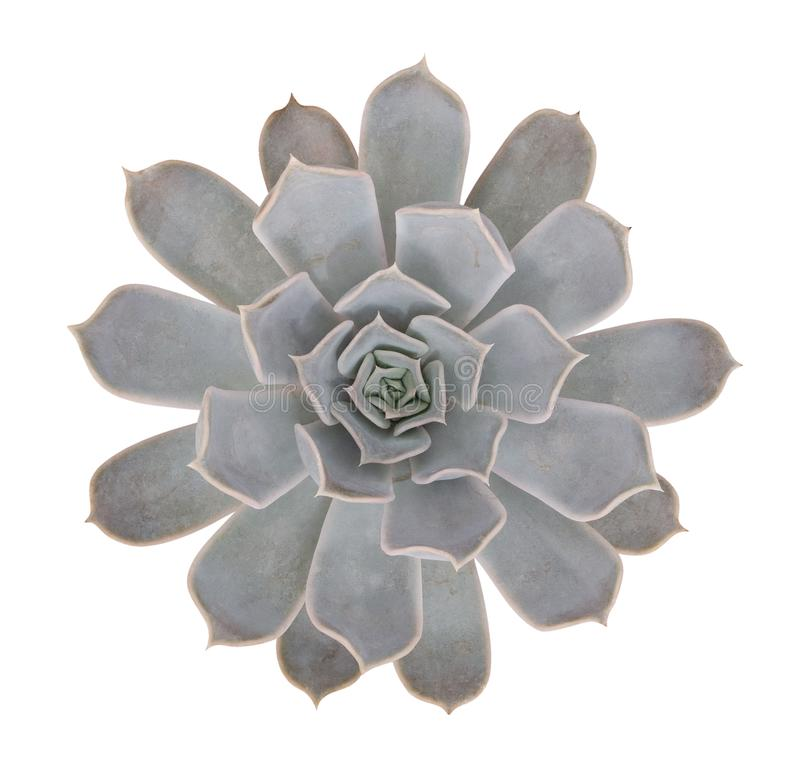 Succulent cactus flower tropical plant top view isolated on white background, clipping path royalty free stock image