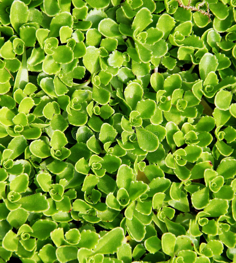 Succulent Carpet. Green carpet of vegetation. Succulent style plants covering a space like a rug royalty free stock photos