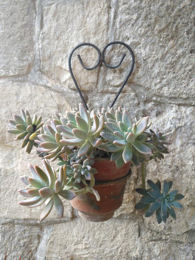 Succulent in clay pot hanging on rustic wall royalty free stock image