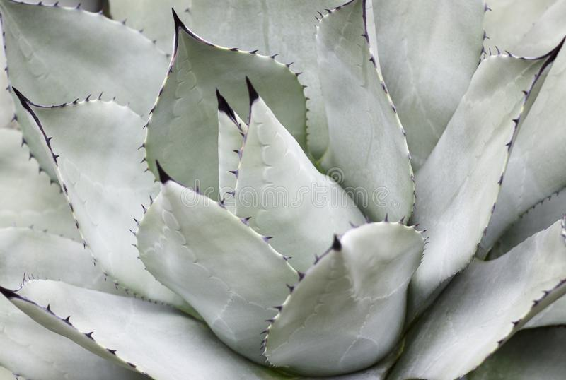 Succulent close-up, texture, background. royalty free stock image