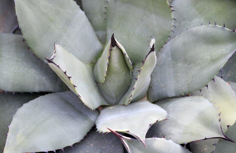 Succulent close-up, textuur, achtergrond stock foto's