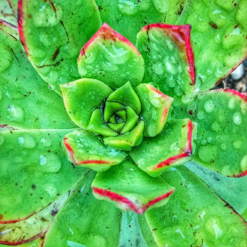 Succulent after the rain royalty free stock photography