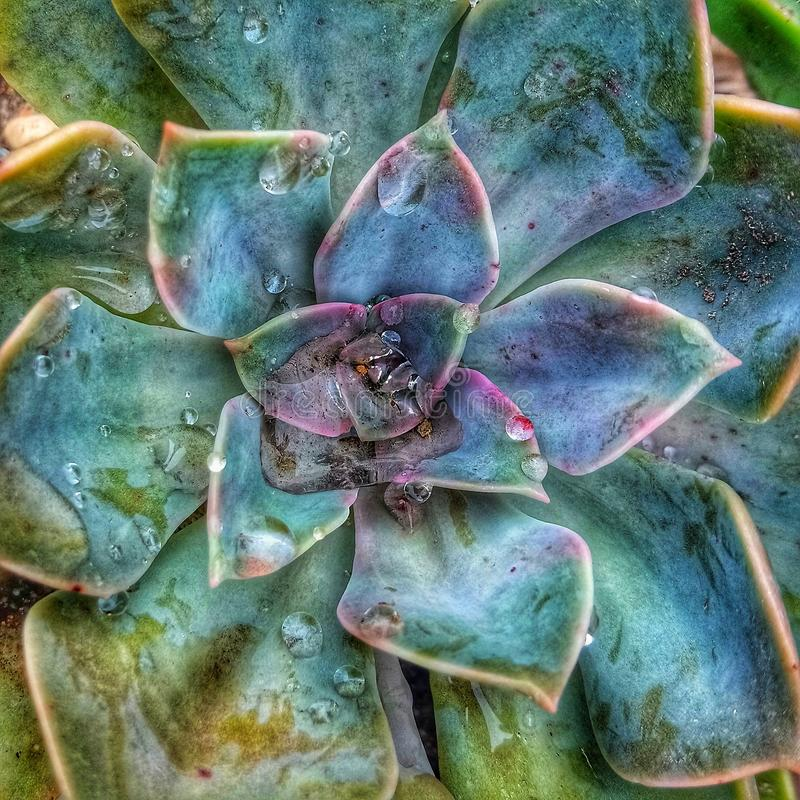 Succulent after the rain royalty free stock image