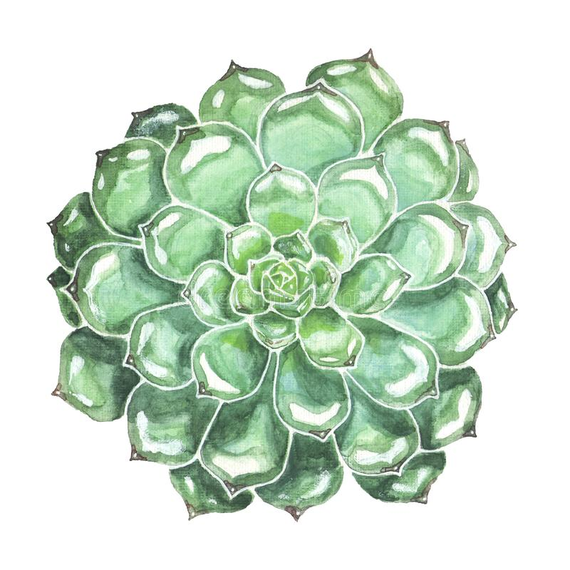 Succulent Closeup. Colorful Watercolor Illustration. Blue green succulent watercolor illustration. Hand drawn echeveria flower isolated on white background stock illustration