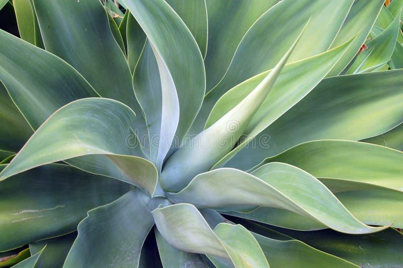 Download Succulent d'aloès photo stock. Image du charnu, amer, assemblage - 5485834