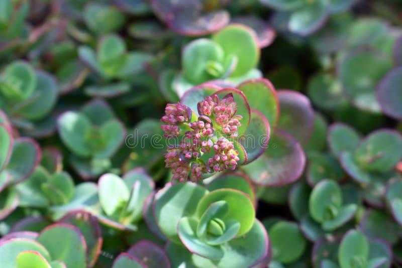Succulent de floraison photographie stock libre de droits