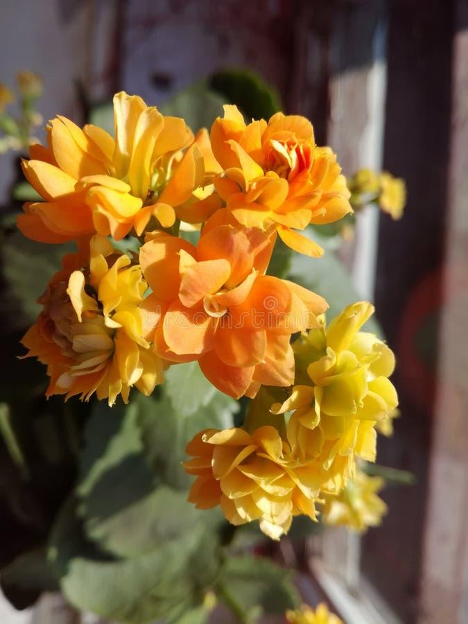 Succulent de Kalanchoe - flor hermosa del amarillo anaranjado imágenes de archivo libres de regalías