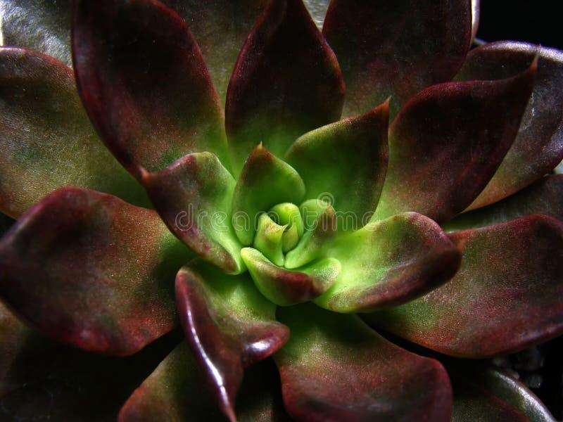 Succulent do Rosette foto de stock royalty free