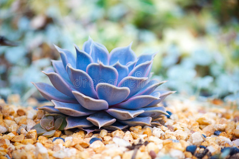 Succulent Echeveria. A beautiful single succulent Echeveria in Garden By The Bay, Singapore. Scientific name: Echeveria 'Perle von Nürnberg stock photography