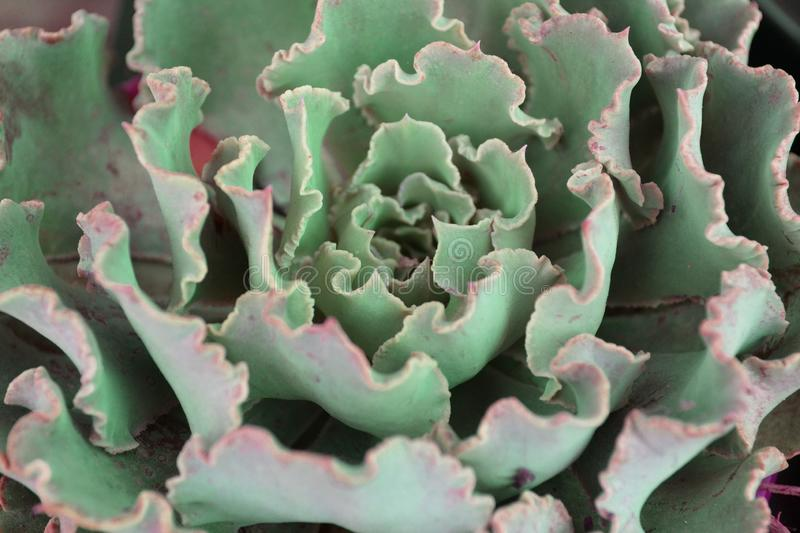 Succulent echeveria in form of terry cabbage close up texture. Succulent echeveria in form of terry cabbage closeup texture stock photo