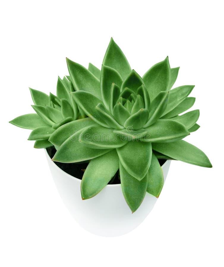 Succulent in een witte pot op een witte geïsoleerde achtergrond stock afbeelding