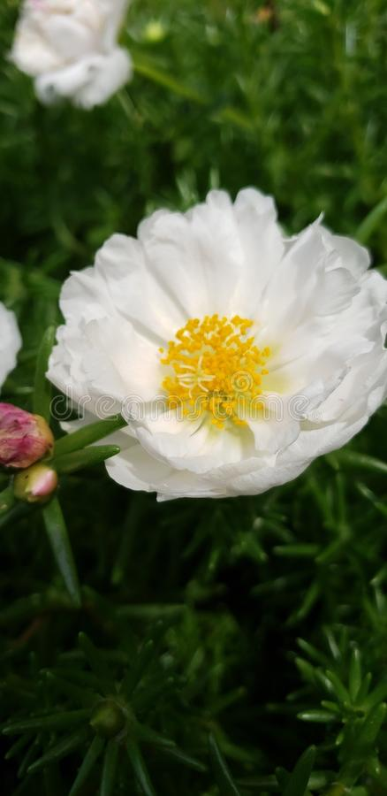 Succulent garden white rose royalty free stock images
