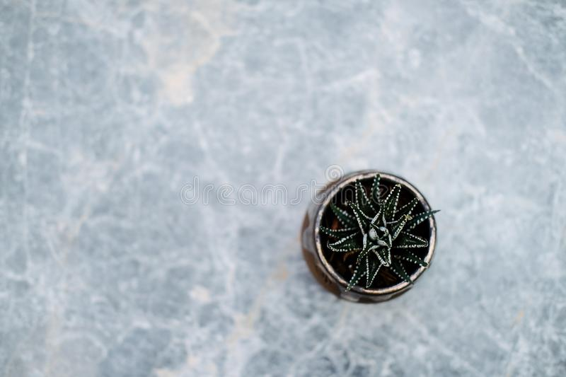 Succulent haworthia in a gold pot on a gray marble table. stock images