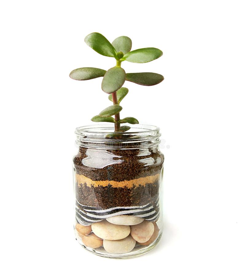 Jade plant succulent seedling in glass jar. Succulent houseplant, crassula ovata, commonly known as jade plant, friendship tree, lucky plant, money tree cutting stock photo