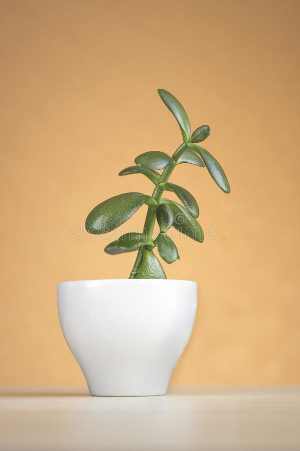 Succulent houseplant Crassula in a white pot on orange background royalty free stock photography