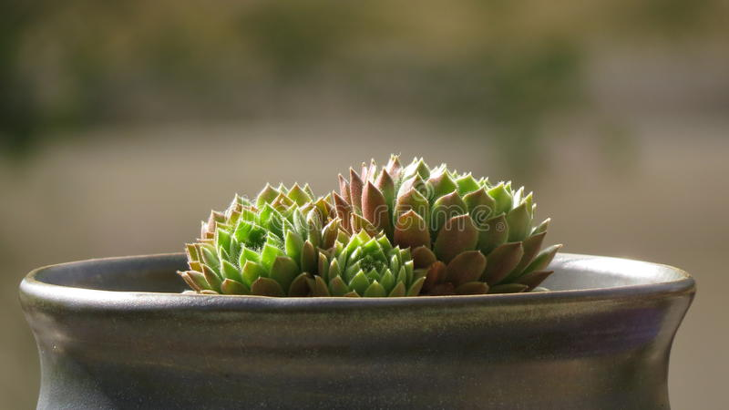 Succulent im Sonnenlicht gebadet lizenzfreie stockfotografie