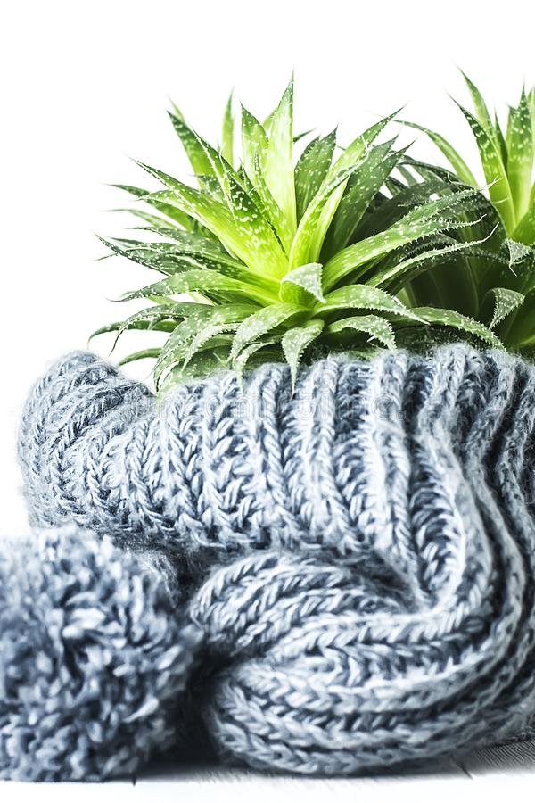 Free Succulent In A Knitted Hat With A Pompom On A White Background Royalty Free Stock Photography - 168242187