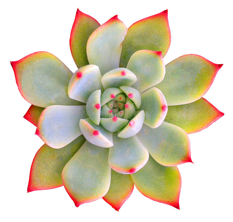Succulent Isolated stock photos