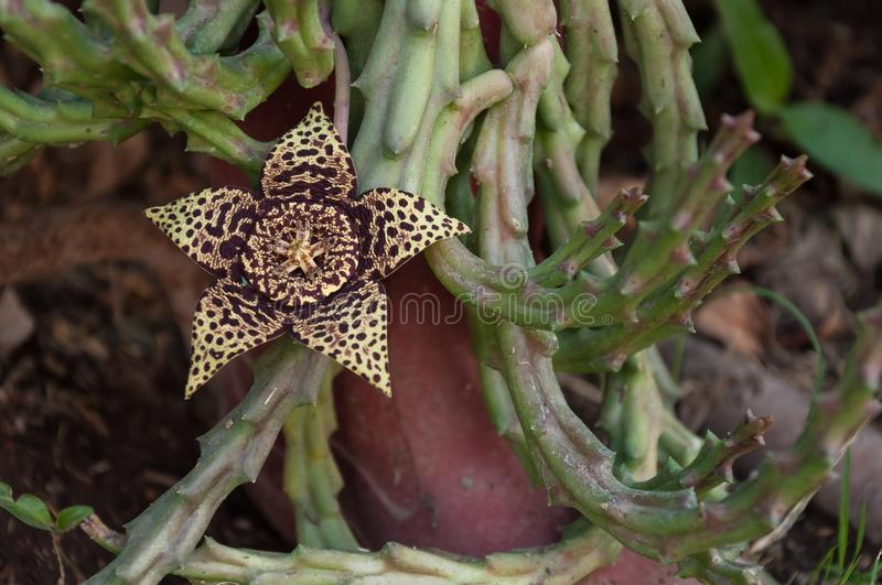 Succulent with five-pointed flower and strong smell. Succulent and its stapelia variegata flower, mottled yellow and brown, releases a foul odor to ensure its royalty free stock images