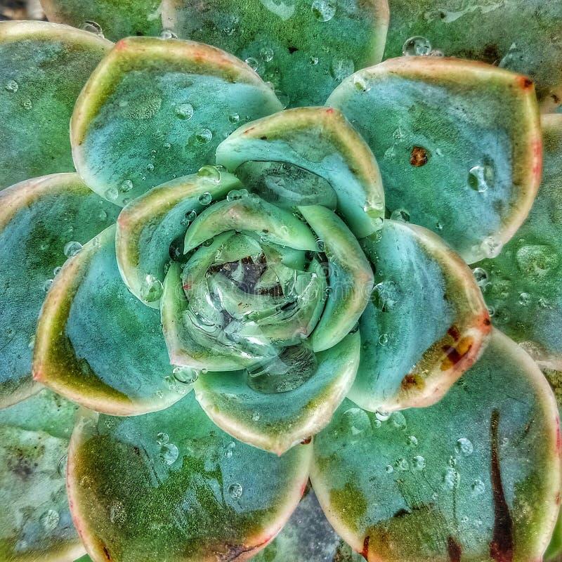 Succulent nach dem Regen lizenzfreie stockbilder