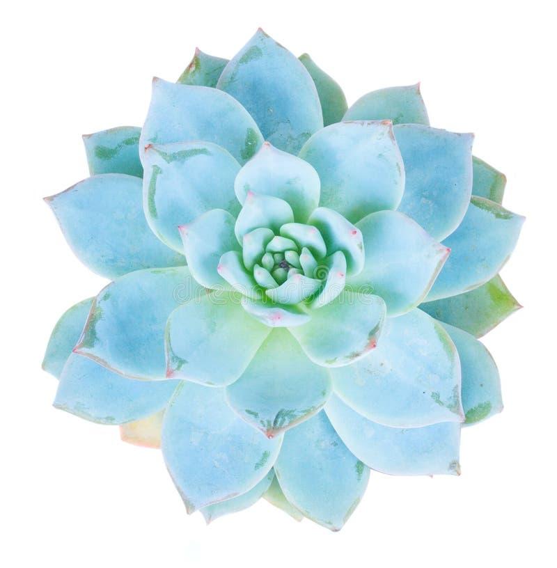 Succulent op wit stock afbeelding