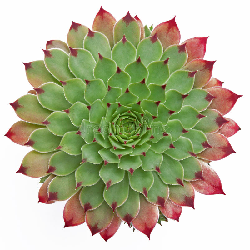 Succulent Pattern royalty free stock photo