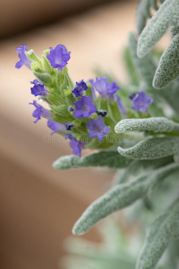 Succulent Plant In Bloom. A succulent plant in bloom with tiny blue flowers stock photography