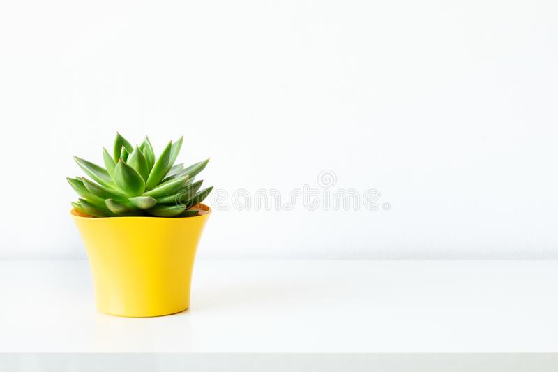Succulent plant in bright yellow flower pot against white wall. House plant on white shelf with copy space. Succulent plant in bright yellow flower pot against royalty free stock photos