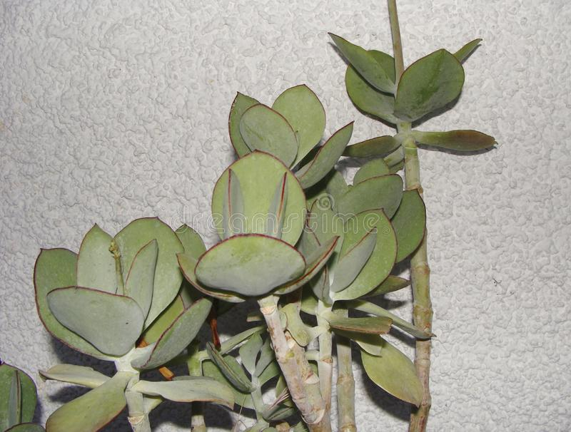 Succulent leaves of Cotyledon orbiculata. Succulent plant of Cotyledon orbiculata close up stock image