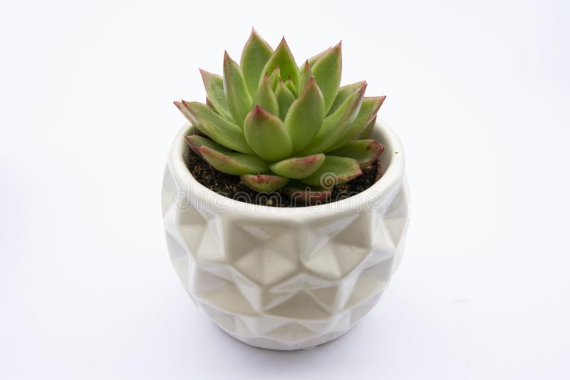 Succulent plant, Echeveria Succulent Flower Plant in pot, white background indoor decorative flower pot. Copy space stock image