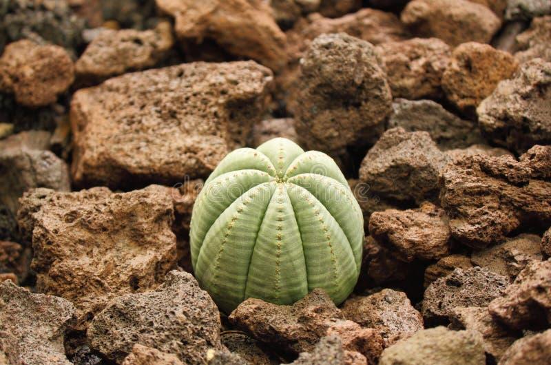 Succulent plant - Euphorbia obesa royalty free stock photos