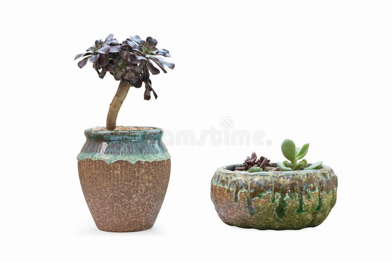 Succulent plant in flowerpot. With a white background, desktop decoration plant royalty free stock photography
