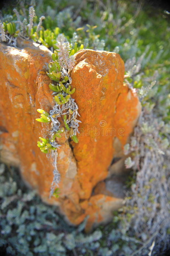 Succulent plant grows over the rock stock photography