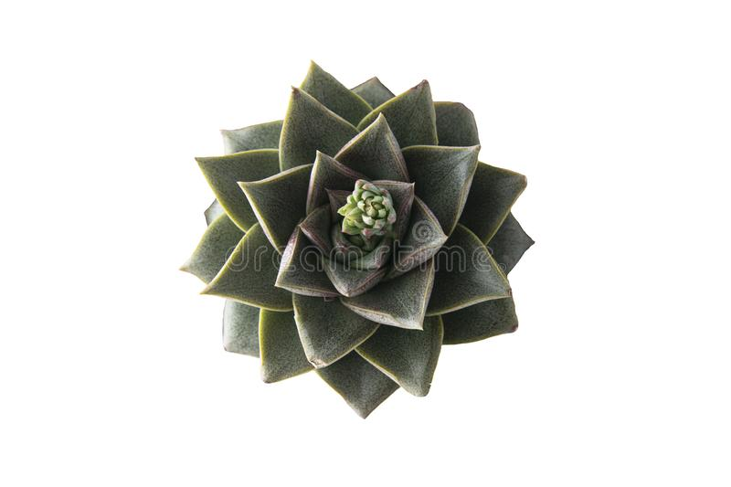 Succulent plant isolated on white background. Beautiful indoor plant, top view royalty free stock image