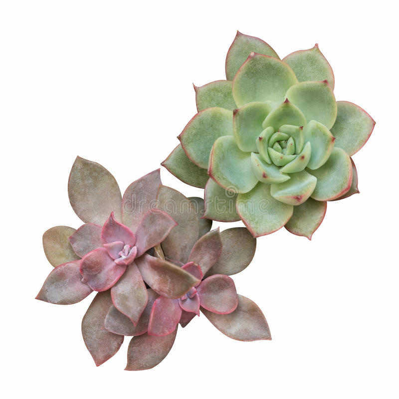 Succulent plant isolated. On white with clipping path stock photo