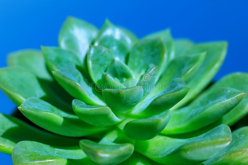 Succulent Plant macro. Top view of green cactus flower in closeup picture. Amazing natural green background with floral royalty free stock photos