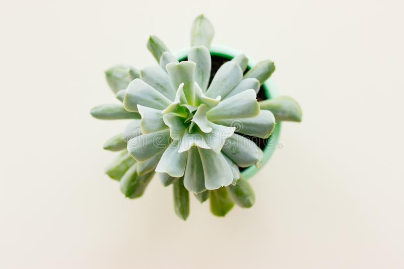 The succulent plant in pot on white background. stock photography