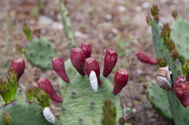 Succulent plant Prickly pear Indian with red fruits stock photos