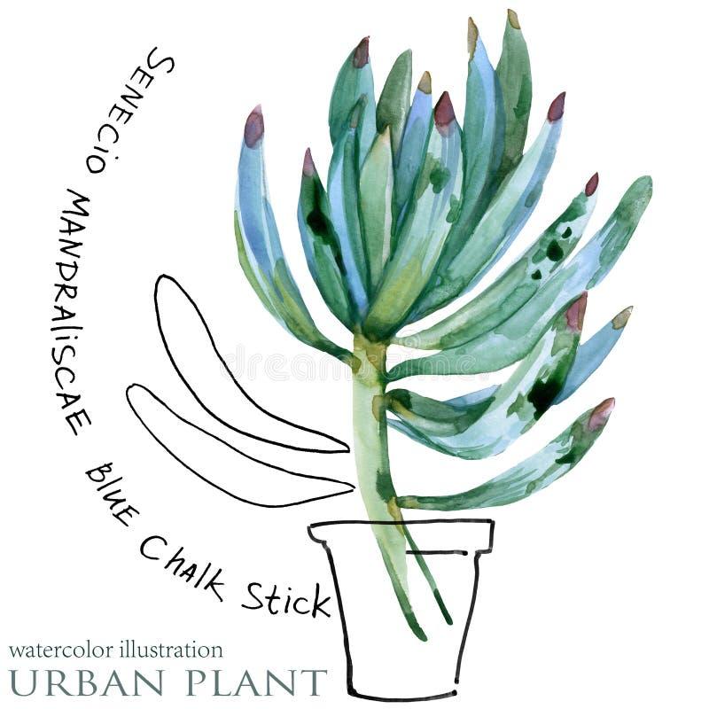 Succulent plant watercolor illustration. Succulent plant. urban botanical flower watercolor illustration royalty free illustration
