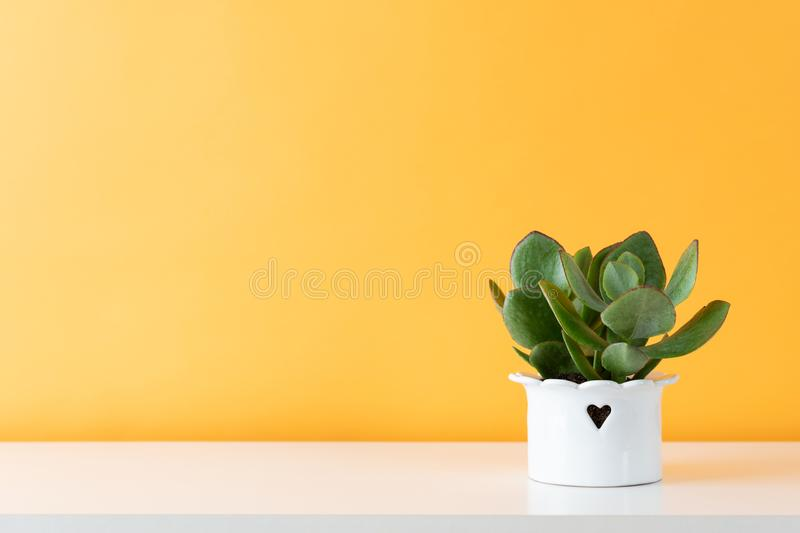 Potted succulent house plant on white shelf against pastel mustard colored wall. Succulent plant in white pot. Potted succulent house plant on white shelf stock photos