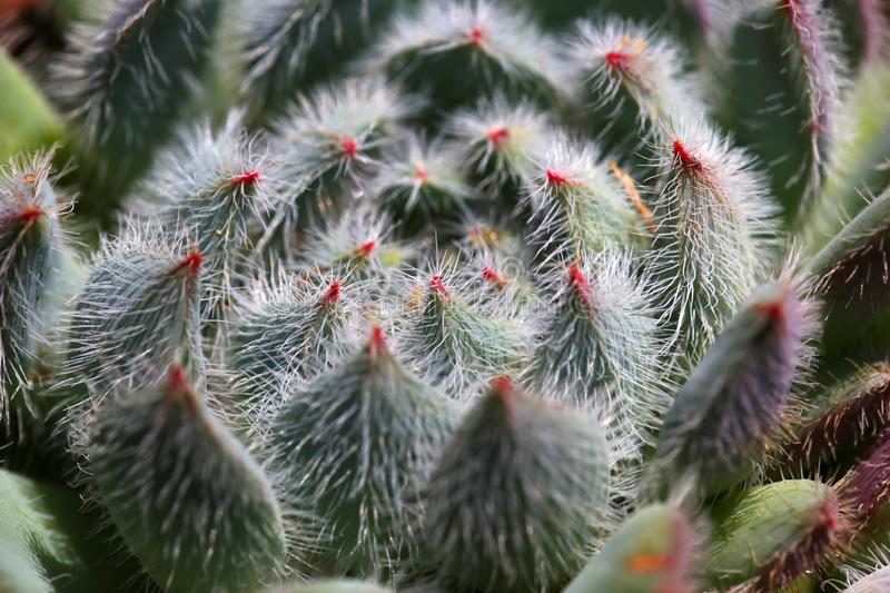 Succulent plants with fluff. Meaty plant refers to the higher plants in vegetative organs hypertrophy, usually with root, stem and leaf three kinds of stock photo