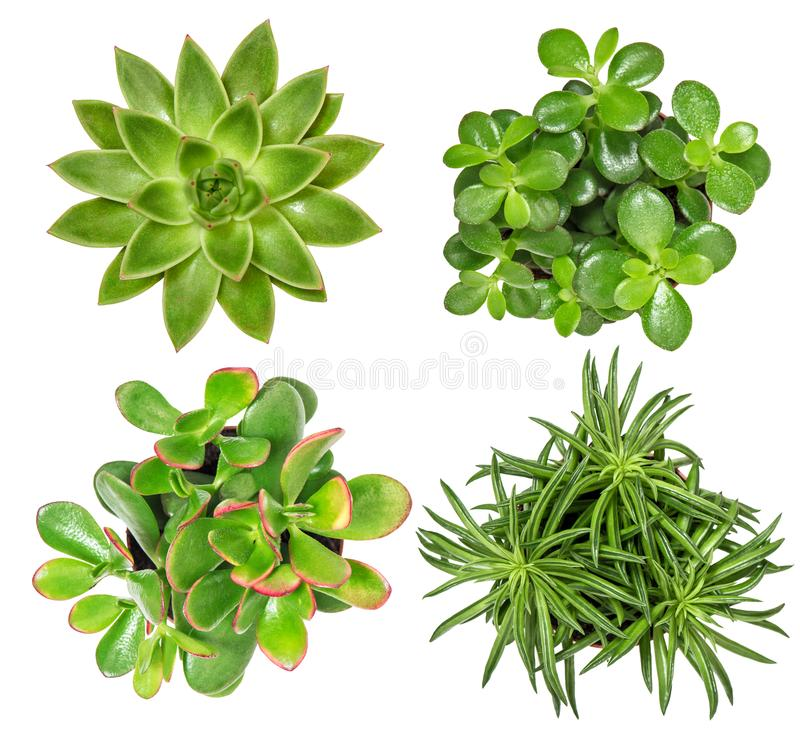 Succulent plants isolated white background. Succulent plants isolated on white background. Top view stock photography