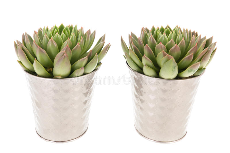 Succulent Plants In Silver Interior Flower Pots