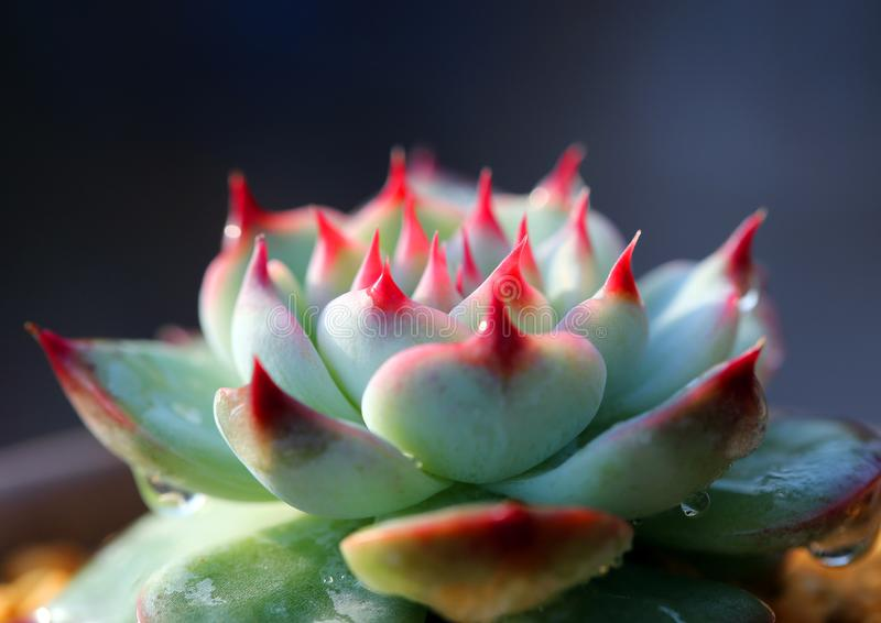 Succulent plants state is very beautiful. Meaty plant refers to the higher plants in vegetative organs hypertrophy, usually with root, stem and leaf three kinds royalty free stock images