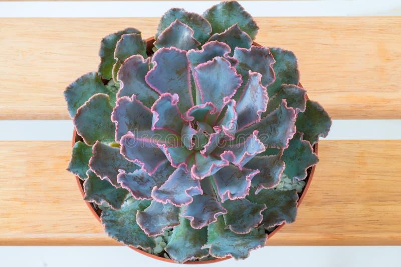 Succulent rosado púrpura de la visión superior foto de archivo libre de regalías