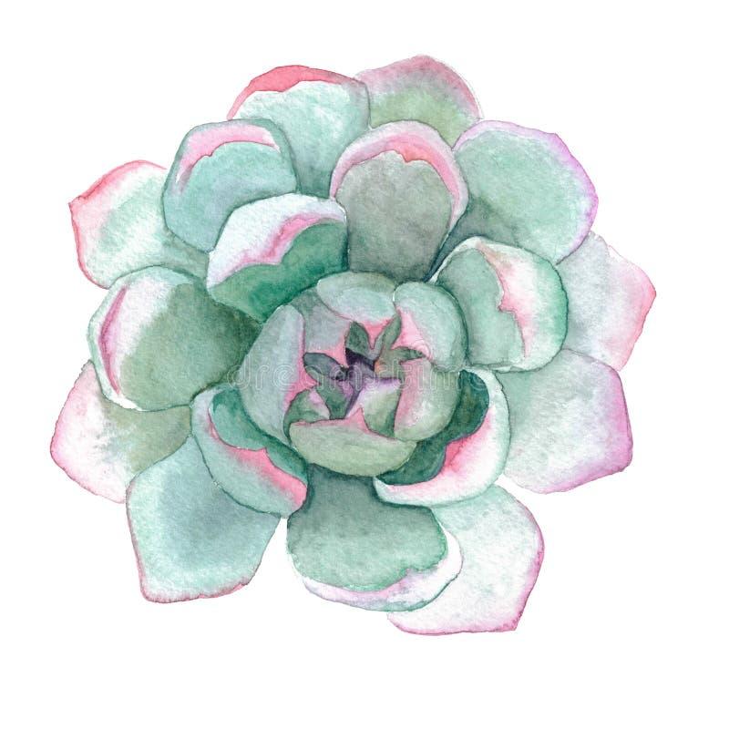 Succulent Stone Rose Flower watercolor illustration. Green and pink succulent. Stone-flower, stone-rose plant. Hand-painted watercolor art piece vector illustration