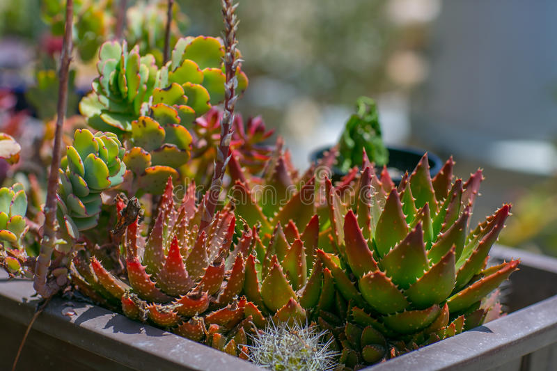 Succulent water wise desert garden royalty free stock photos