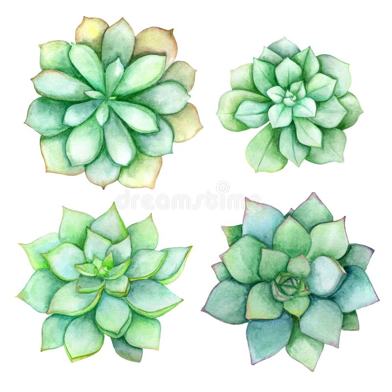 Succulent watercolor set isolated on a white background. Perfect for wedding invitation. Succulent set isolated on a white background. Watercolor hand drawn vector illustration