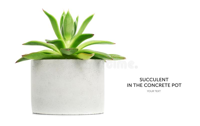 Succulent in white pot isolated on white background stock photo