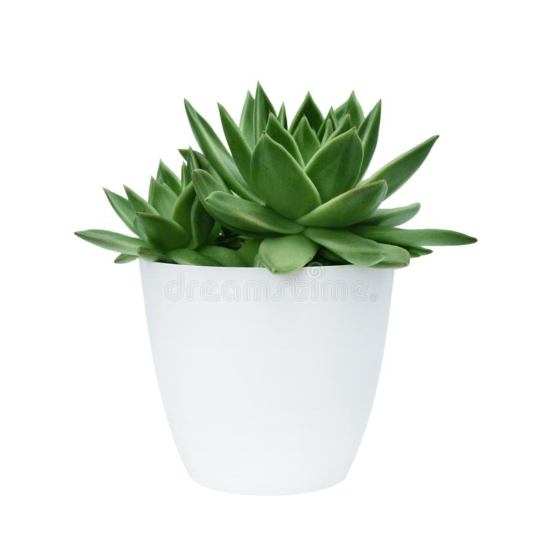 Succulent in a white pot on a white background isolated stock photos
